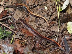 Image of Western Redback Salamander