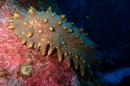 Image of Brown Sea Cucumber