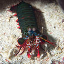 Image of mantis shrimps