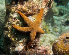 Image of Orange spotted purple sea star
