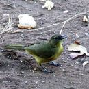 Image of Yellow-bellied Bulbul