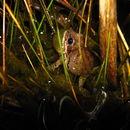 Image of Strecker's Chorus Frog