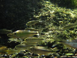 Image of Mexican Tetra