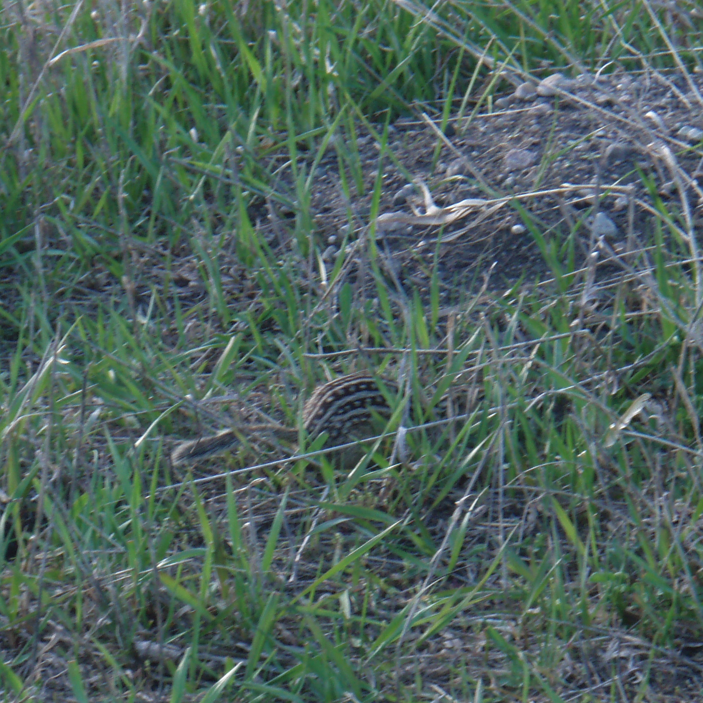 Image of thirteen-lined ground squirrel