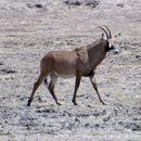 Image of Roan antelope