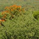 Image of <i>Psittacanthus calyculatus</i>