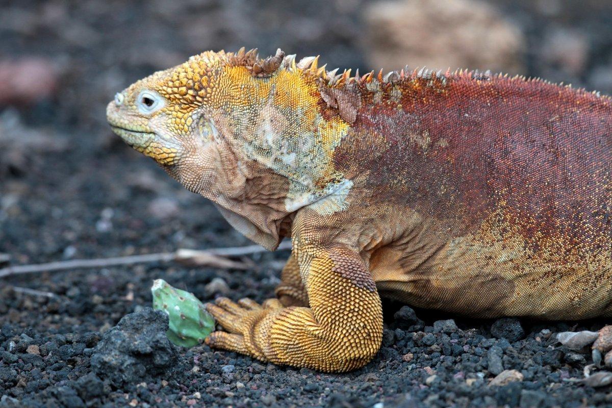 Image of Galapagos Land Iguana