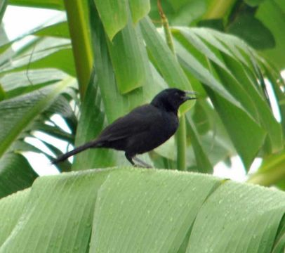 Image of Melodious Blackbird