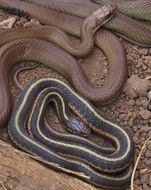 Image of Coast Garter Snake