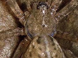 Image of <i>Stiphidion facetum</i> Simon 1902
