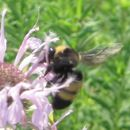 Image of Black-and-gold Bumblebee