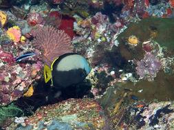 Image of Black and grey angelfish