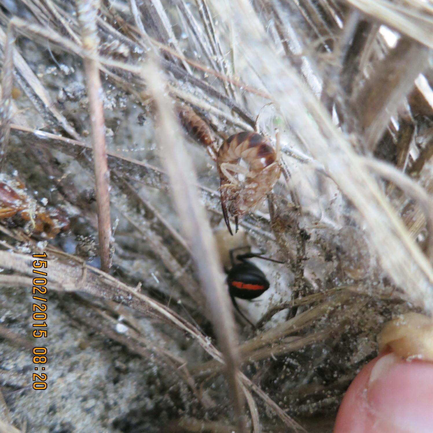 Image of <i>Labidura truncata</i>
