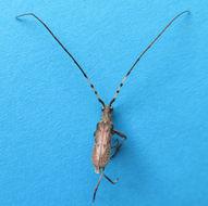 Image of <i>Didymocantha obliqua</i> Newman 1840