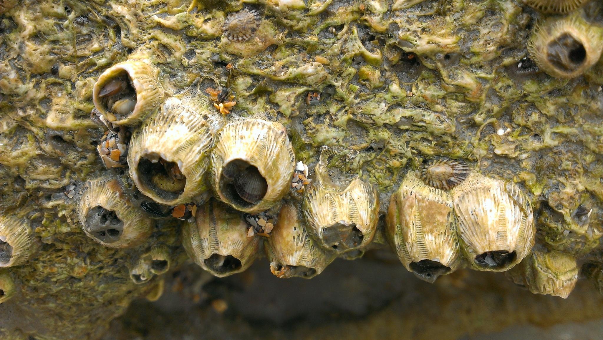 Image of <i>Tetraclita stalactifera</i> (Lamarck 1818)