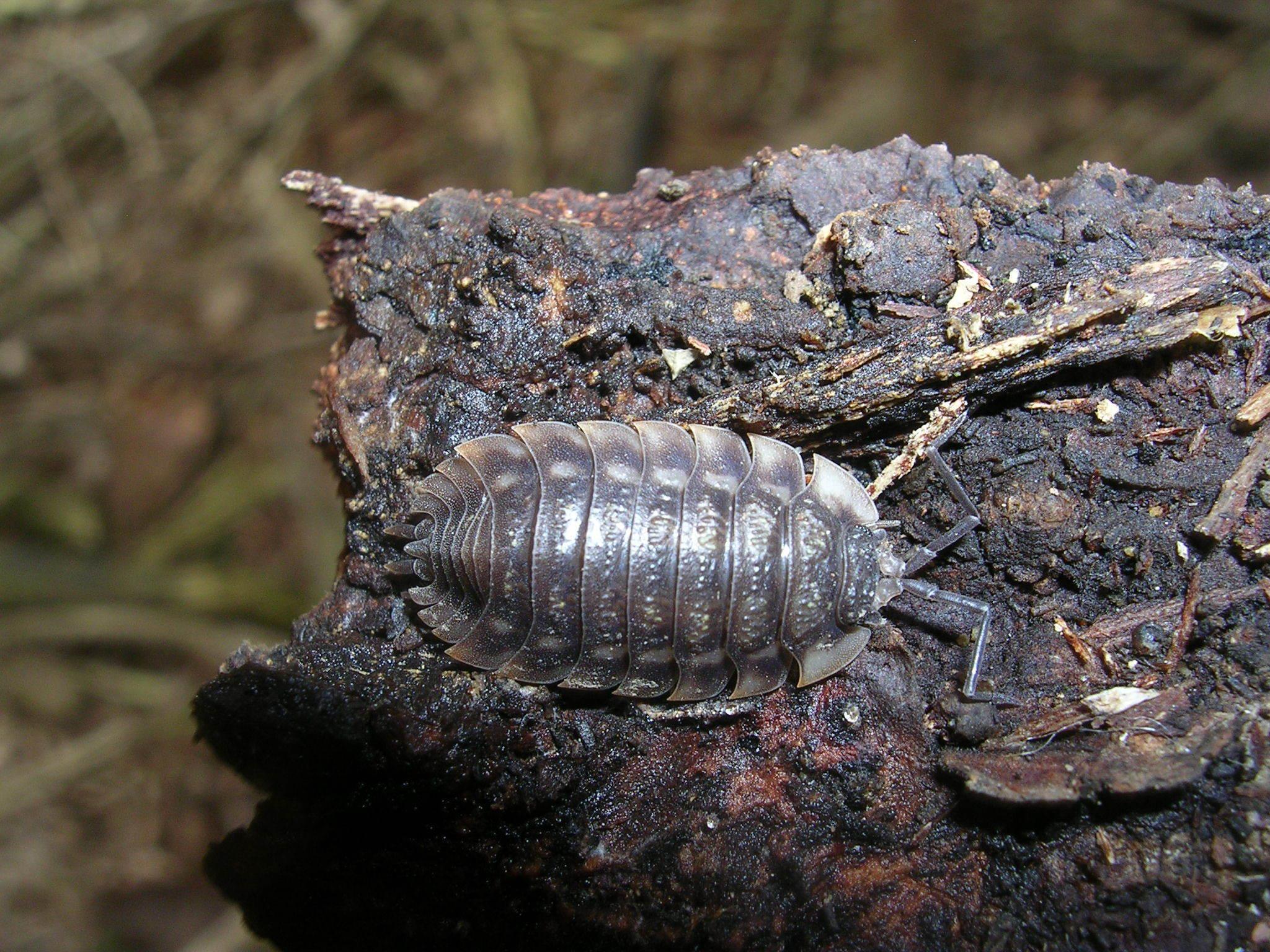 Image of Common woodlouse