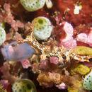 Image of <i>Bornella anguilla</i> S. Johnson 1984
