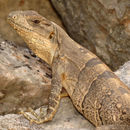 Image of Black Iguana