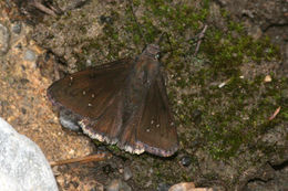 Image of Drusius Cloudywing