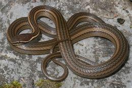 Image of Nuevo León Graceful Brown Snake