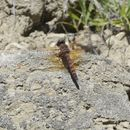 Image of Red Rock Skimmer