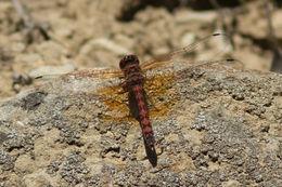 Image of Red Rock Skimmer