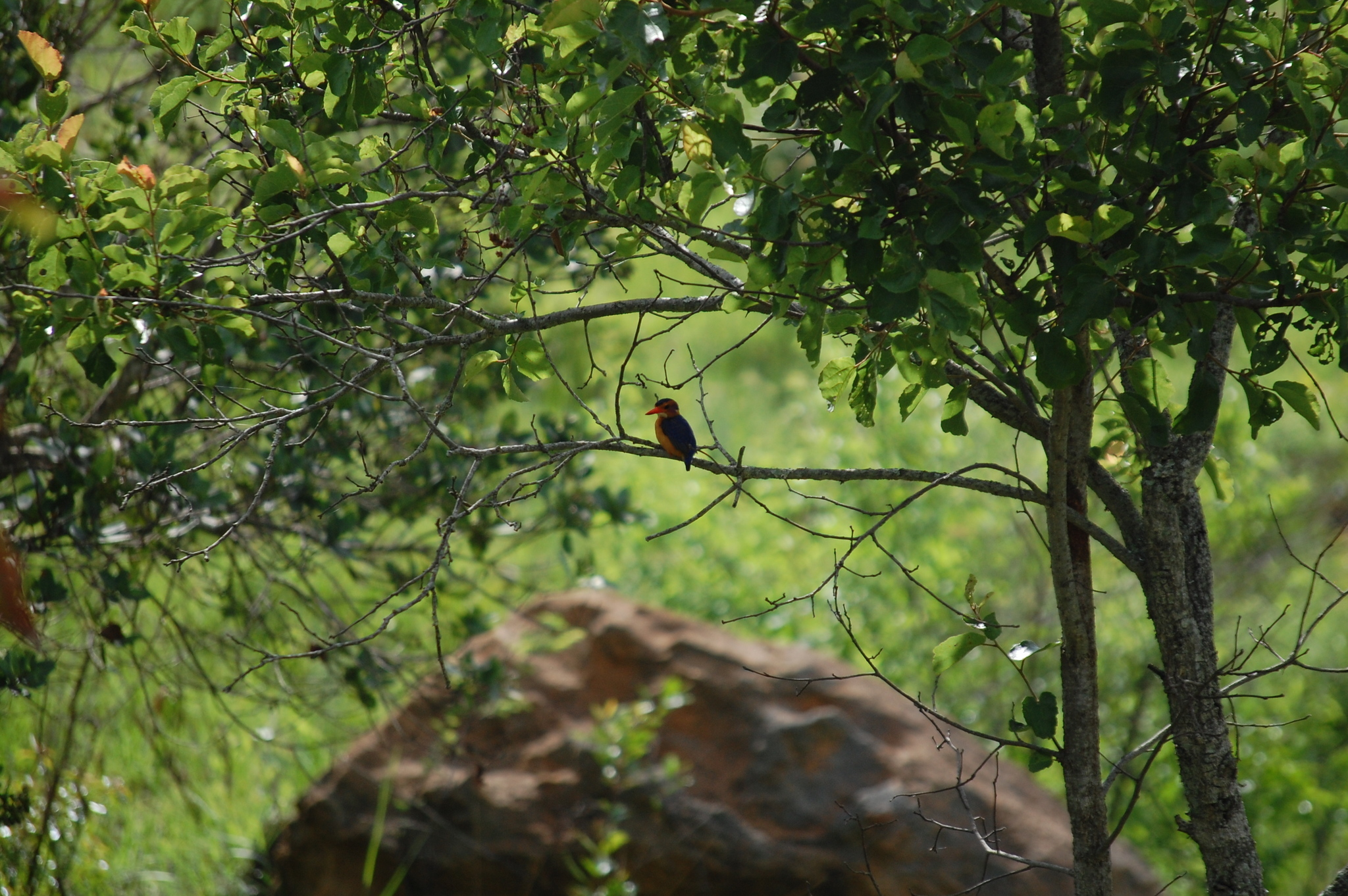 Image of African Pygmy Kingfisher