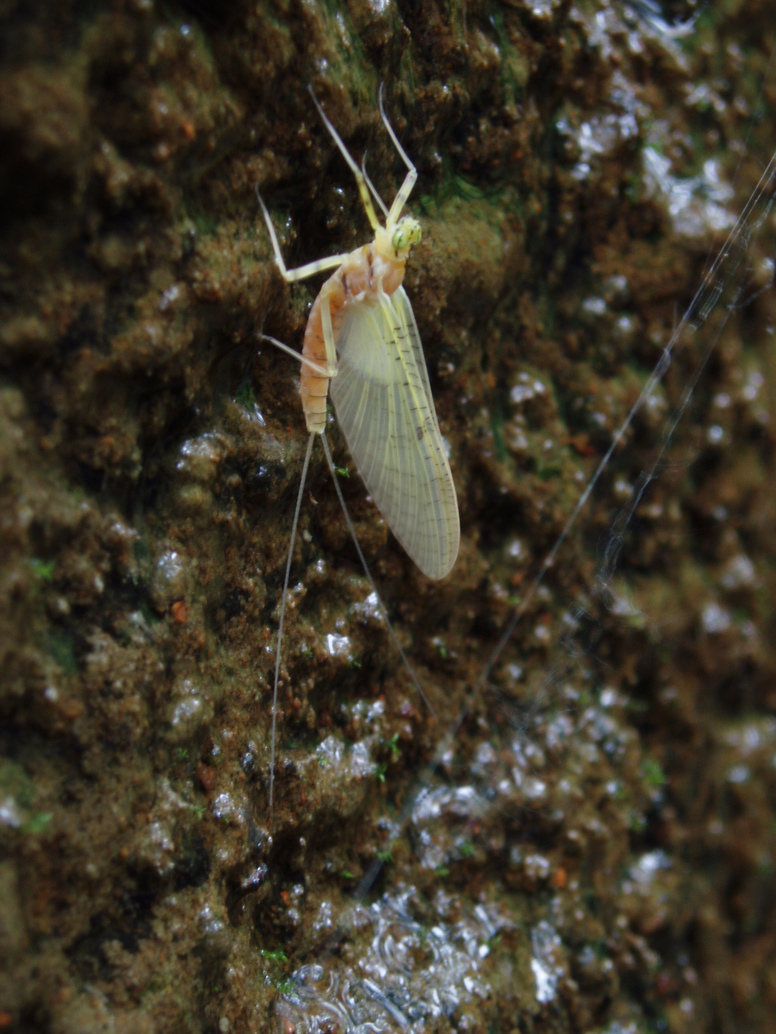 Image of Stenacron Mayfly
