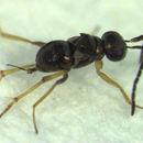 Image of <i>Odiaglyptus biformis</i> Noyes 1988