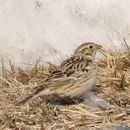 Image of Smith's longspur