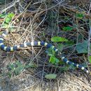 Image of Mexican Short-tail Snake