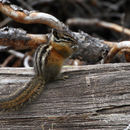 Image of Yellow Pine Chipmunk