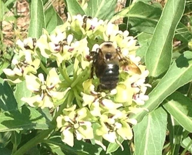 Image of <i>Xylocopa virginica texana</i> Cresson 1872