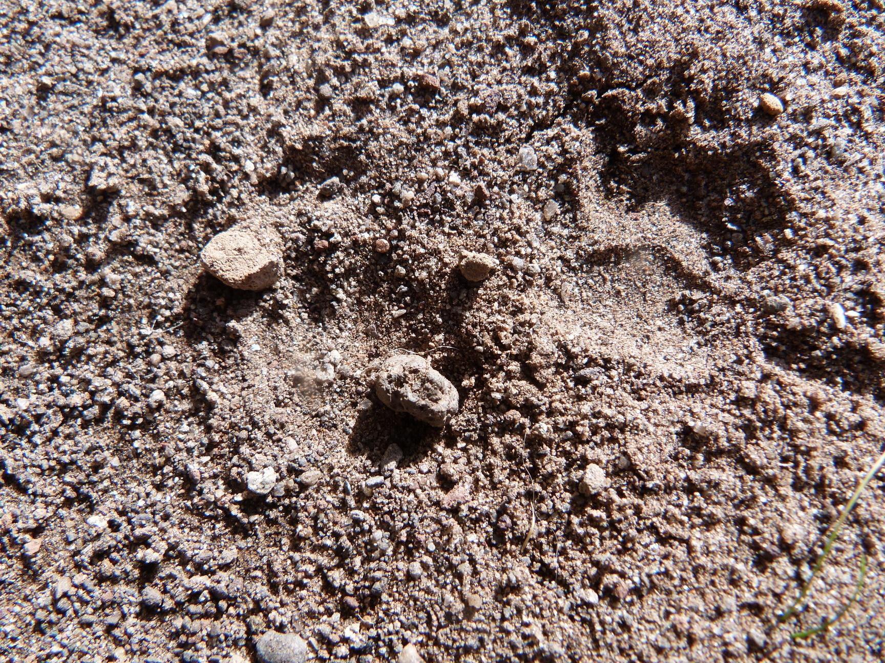 Image of Molina's hog-nosed skunk