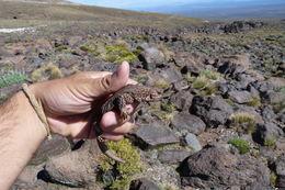 Image of <i>Phymaturus roigorum</i> Lobo & Abdala 2007