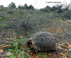 Image of Common Tortoise