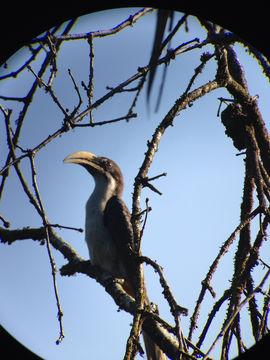 Image of Sri Lankan grey hornbill