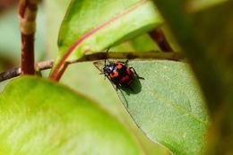Image of <i>Gallerucida bifasciata</i>