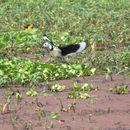 Image of Cotton Pygmy-goose