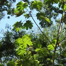 Image of <i>Cecropia obtusifolia</i>
