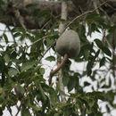 Image of <i>Swietenia mahogani</i>