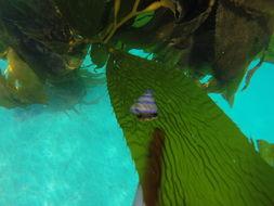 Image of purple-ring topsnail