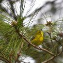 Image of Pine Warbler