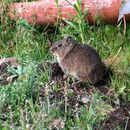 Image of common yellow-toothed cavy