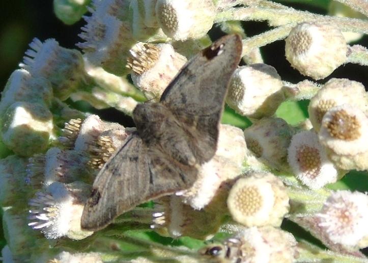 Image of <i>Arteurotia <i>tractipennis</i></i> ssp. tractipennis