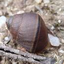 Image of <i>Caryodes dufresnii</i> Leach 1815