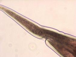 Image of <i>Haemonchus contortus</i> (Rudolphi 1803)
