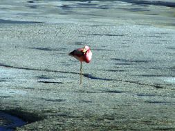 Image of Andean Flamingo