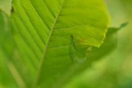 Image of Golden-eyed Lacewing