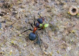Image of Black-backed meadow ant